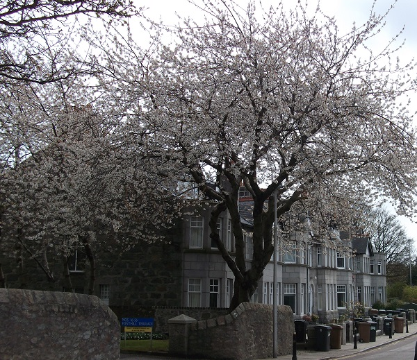 tree with blossom in Ferryhill street